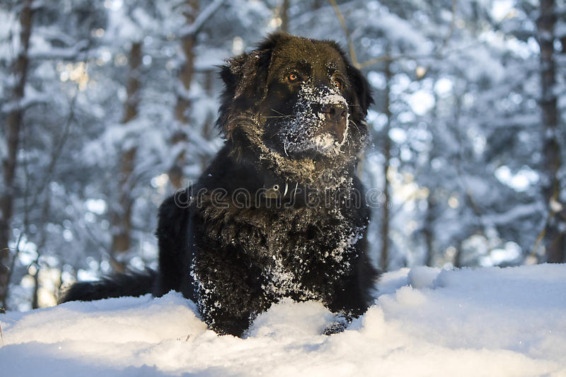 czarny pies obrazy royalty free
