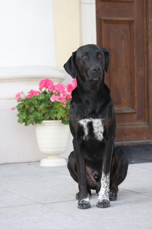 czarny pies obraz stock