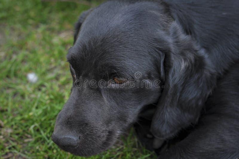 Czarny pies kłama na zielonej trawie obraz stock