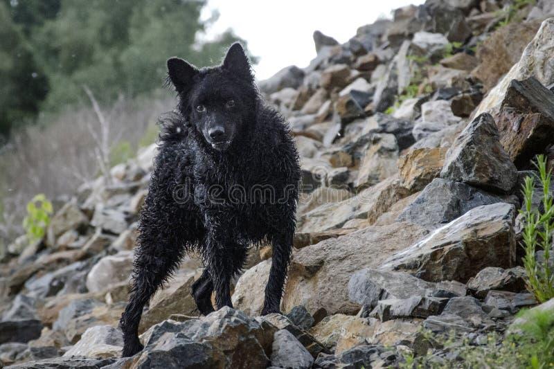 Czarny pies na skale obrazy stock