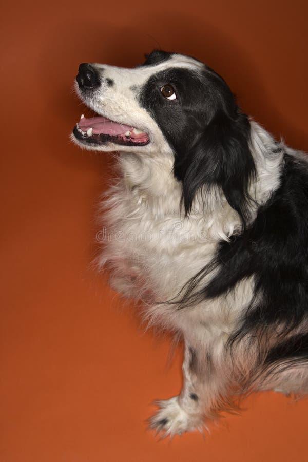 czarny pies siedzi white fotografia royalty free