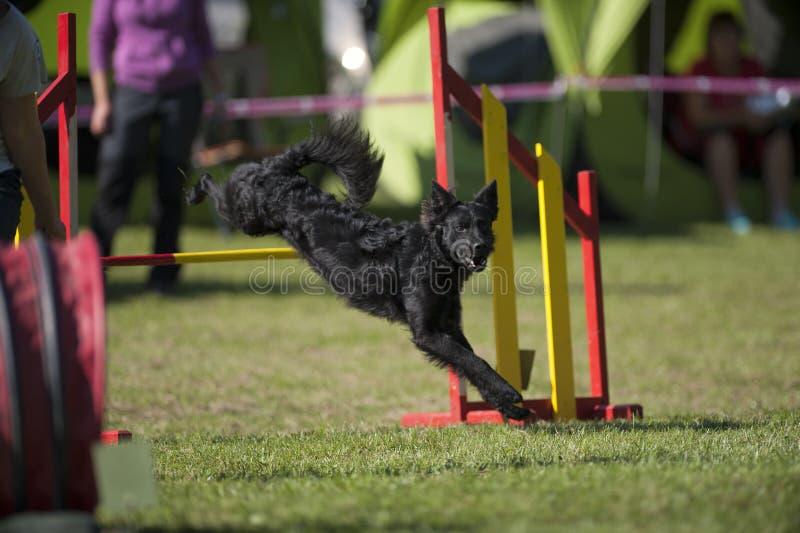Czarny pies skacze nad żółtą przeszkodą na zwinności rywalizaci fotografia stock
