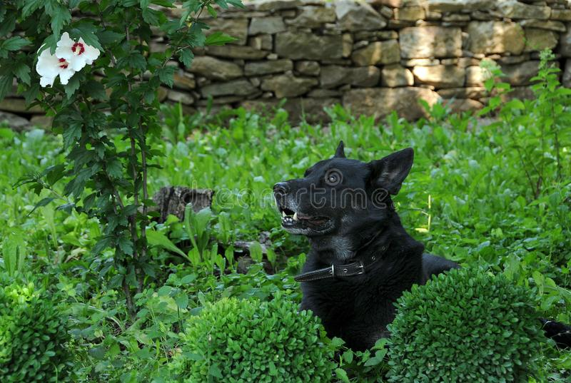 Czarny pies w ogródzie zdjęcie stock