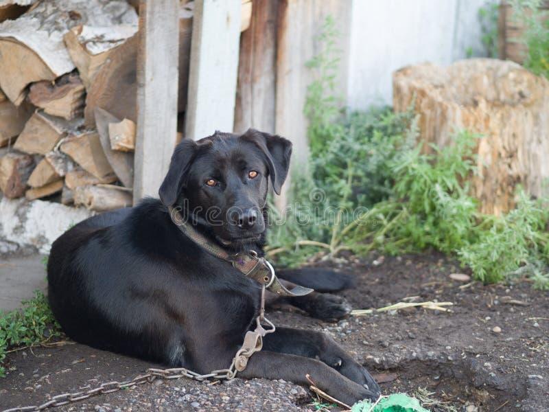 Czarny pies z wioski pracuje jako strażnik zdjęcia stock