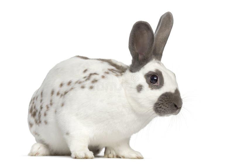 Czarny pożarniczy królik stoi up i odizolowywa na bielu fotografia stock