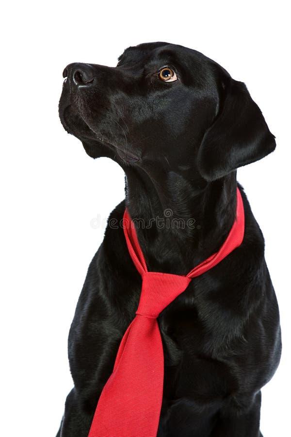 czarny przystojnego labradora czerwony krawat obraz stock