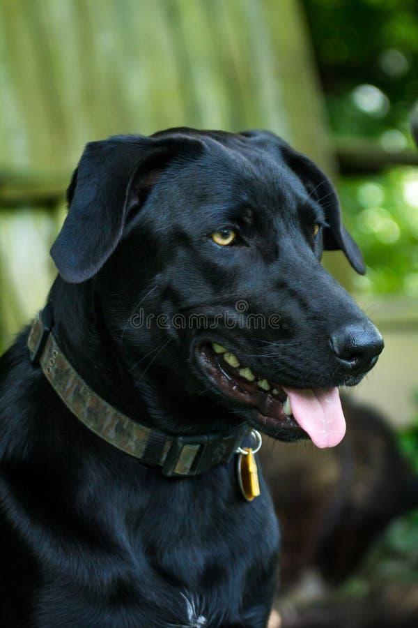 czarny psa labradora aporter fotografia stock
