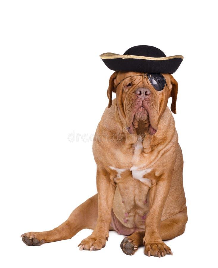 czarny psa oka złocisty kapeluszowy łaty pirat fotografia stock