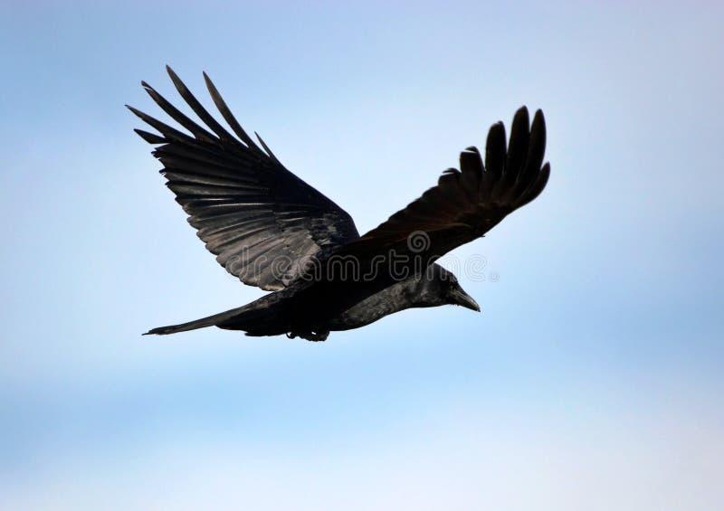 czarny ptak zdjęcie royalty free