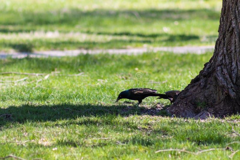 Czarny ptak drzewem w parku fotografia stock