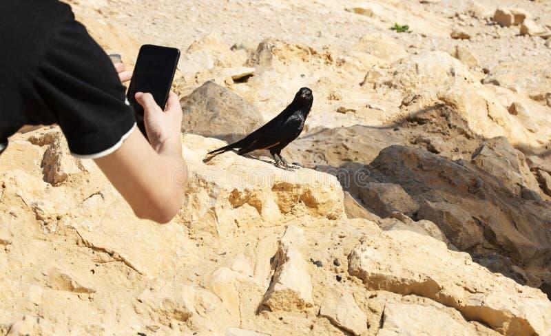 Czarny ptak siedzi na kamieniu na Masada górze i pozach dla fotografii zdjęcia royalty free
