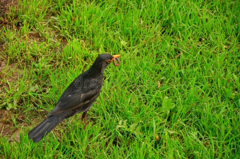 Czarny ptak w kwiatu ogródzie fotografia royalty free
