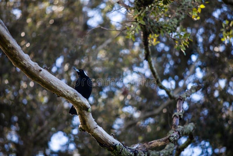 Czarny ptak w Nowa Zelandia obrazy stock