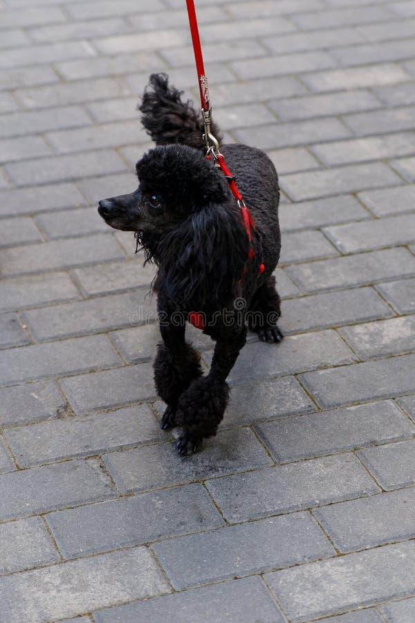 Czarny pudel, piękny portret czarnego psa stojącego obrazy stock