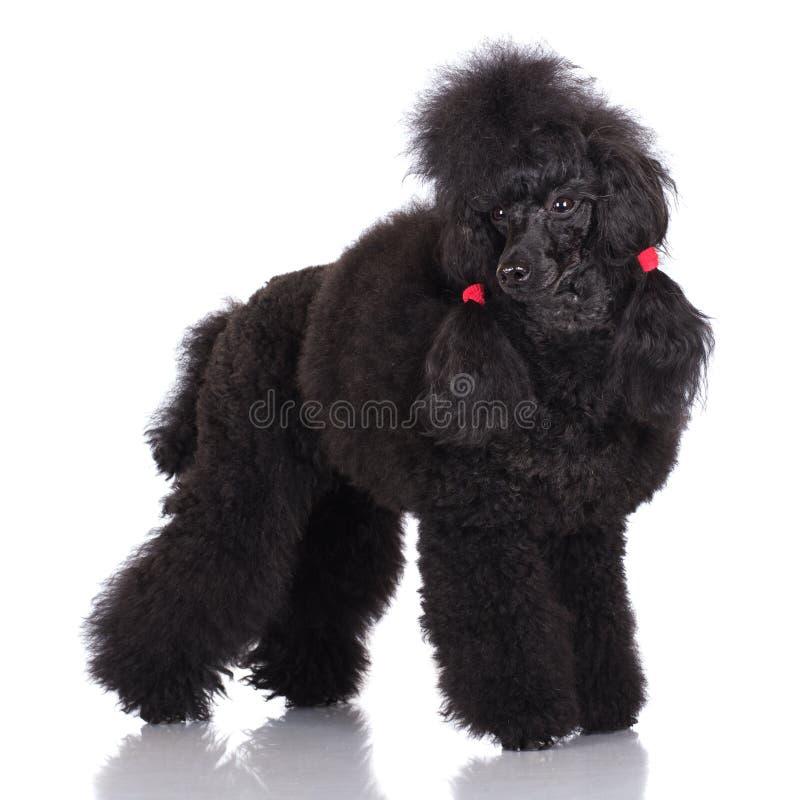 Czarny pudla pies fotografia stock