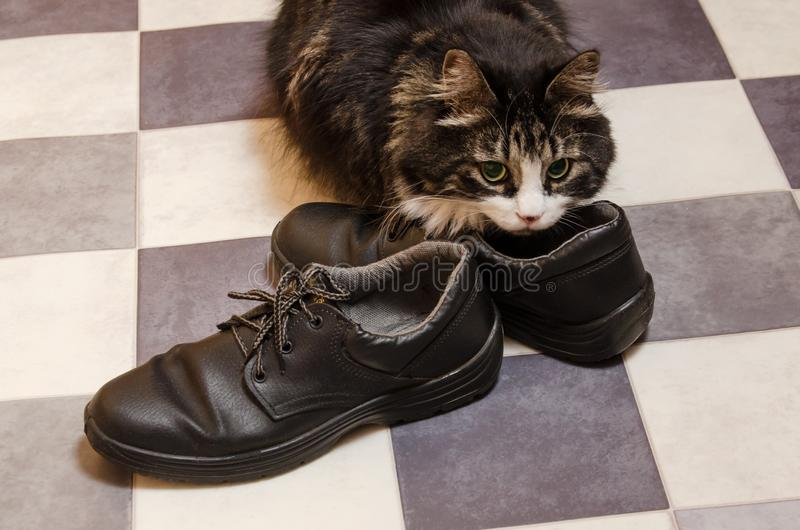 Czarny puszysty duży kot obwąchuje mężczyzn buty zdjęcia stock