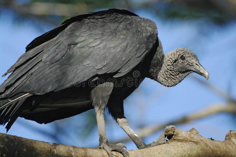 Czarny sęp zdjęcia stock