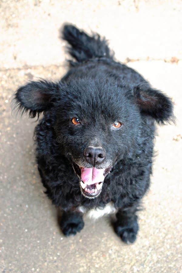 Czarny sheepdog zdjęcia royalty free