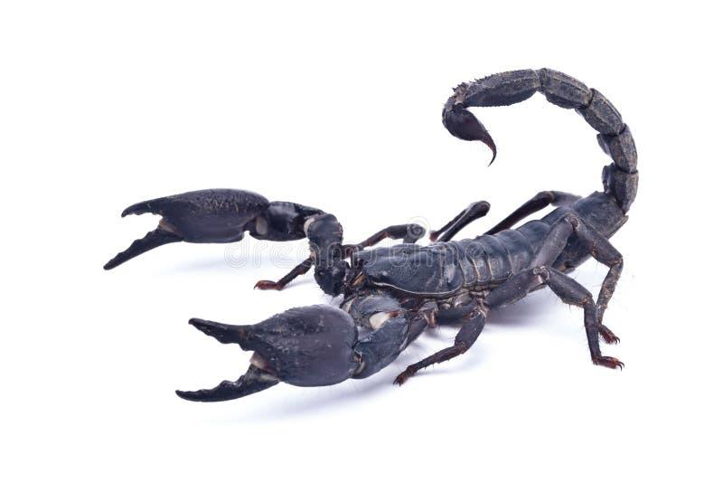 Czarny skorpion przygotowywający walczyć fotografia royalty free