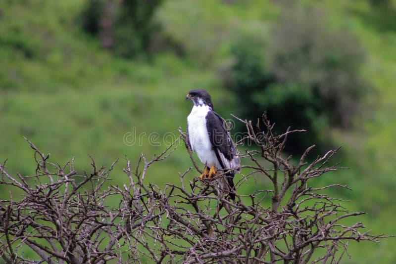 Czarny Sparrowhawk obraz stock