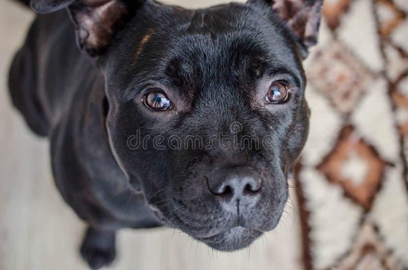 Czarny Staffordshire Terrier zdjęcie stock