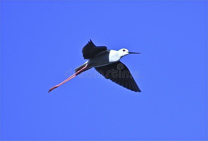 czarny stilt skrzydlata zdjęcia royalty free