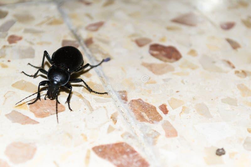 Czarny straszny insekta kraul na podłoga fotografia royalty free