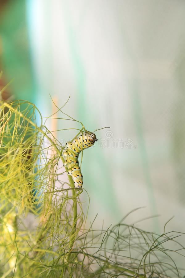 Czarny Swallowtail łasowania gąsienicowy koper obrazy stock