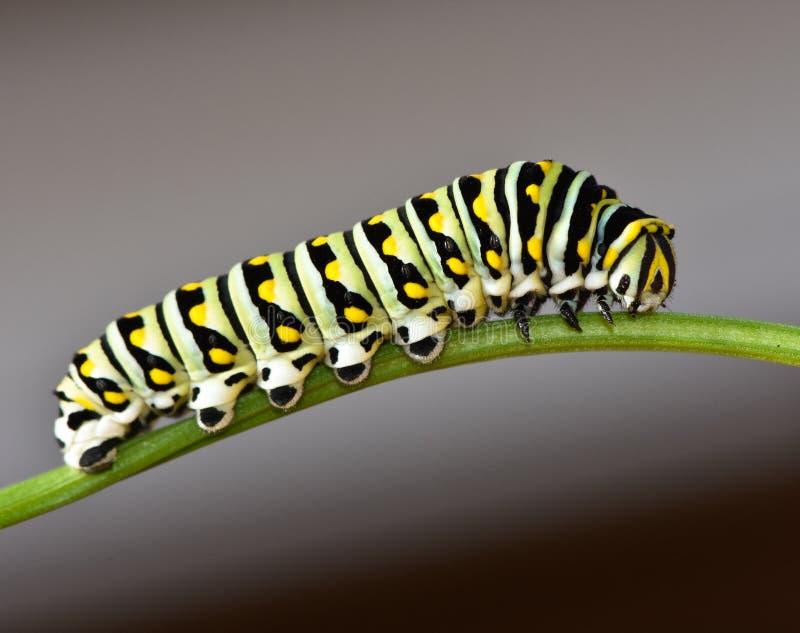Czarny Swallowtail Caterpillar - Motylia larwa obrazy stock