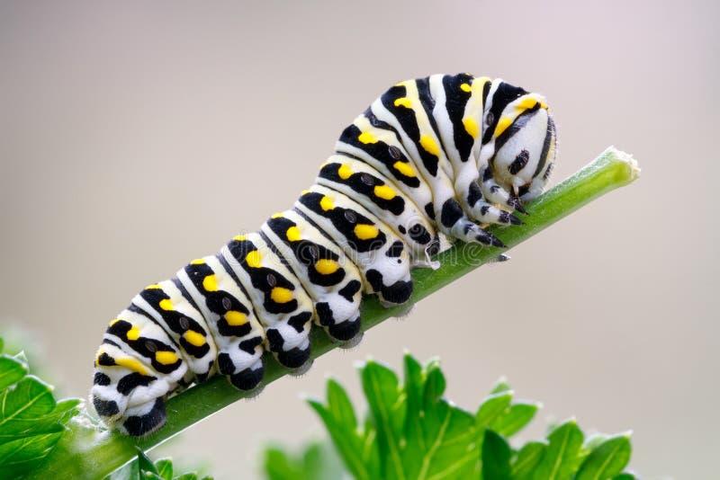 Czarny Swallowtail Caterpillar na pietruszce zdjęcia stock