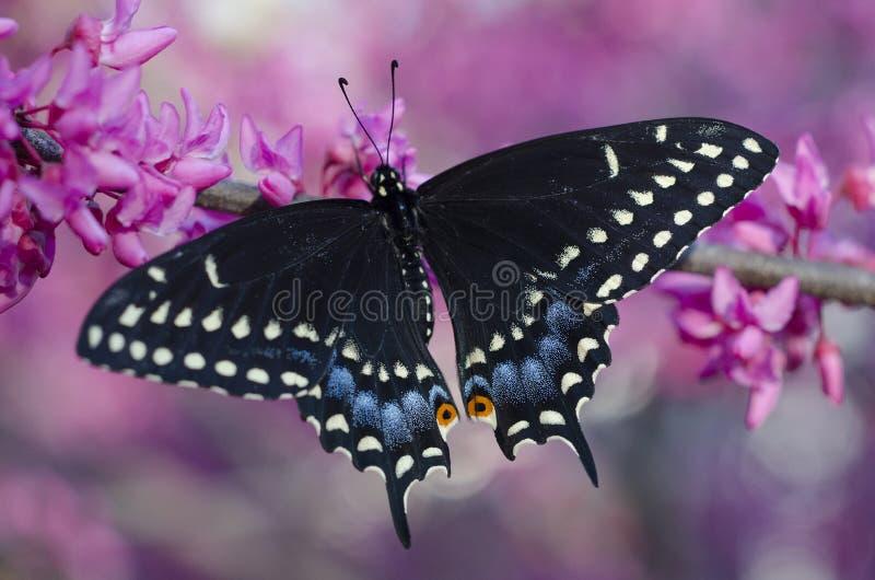 Czarny swallowtail motyl na kwiatonośnym redbud drzewie zdjęcie stock