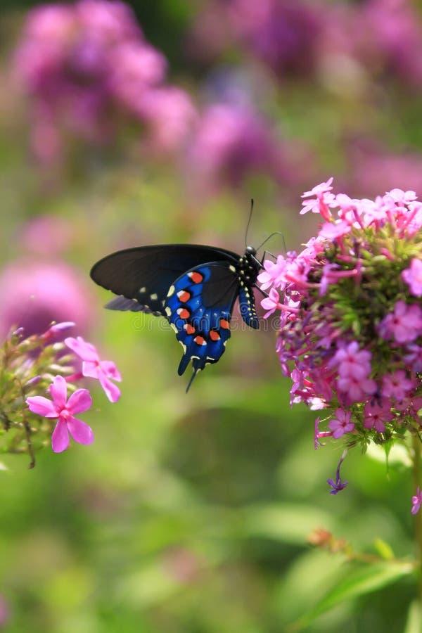 Czarny Swallowtail motyl na r??owych kwiatach zdjęcia royalty free