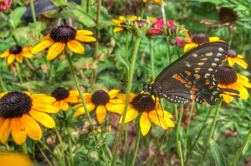 Czarny Swallowtail motyl na Rudbeckia fotografia royalty free