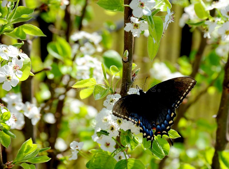 Czarny swallowtail motyl rozprzestrzenia jego skrzydła podczas gdy karmiący na kwiatu nektarze fotografia stock