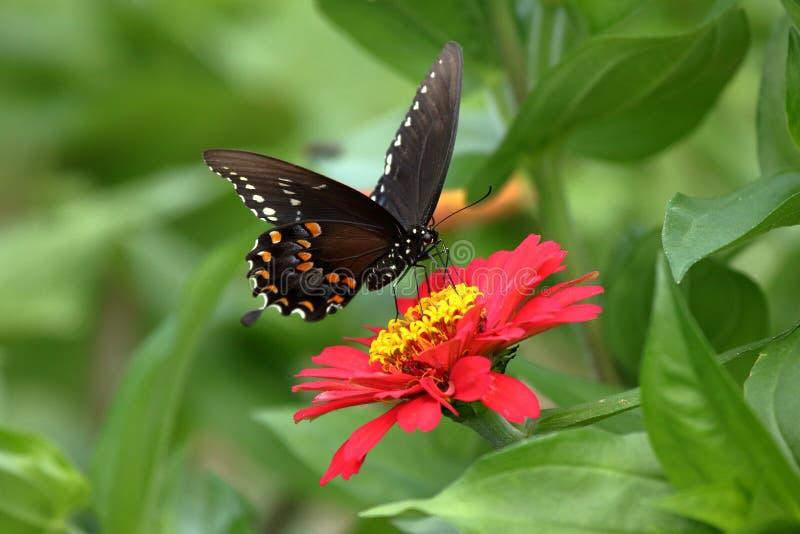 Czarny Swallowtail motyl w kwiatu ogródzie obraz stock
