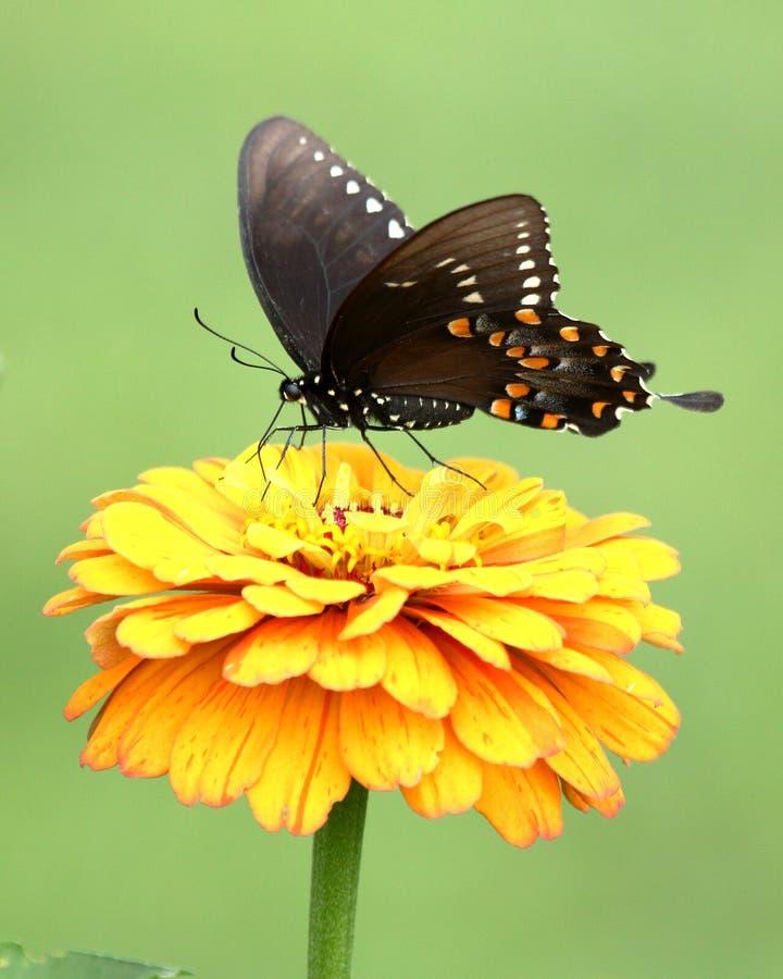 Czarny Swallowtail motyl w kwiatu ogródzie fotografia stock