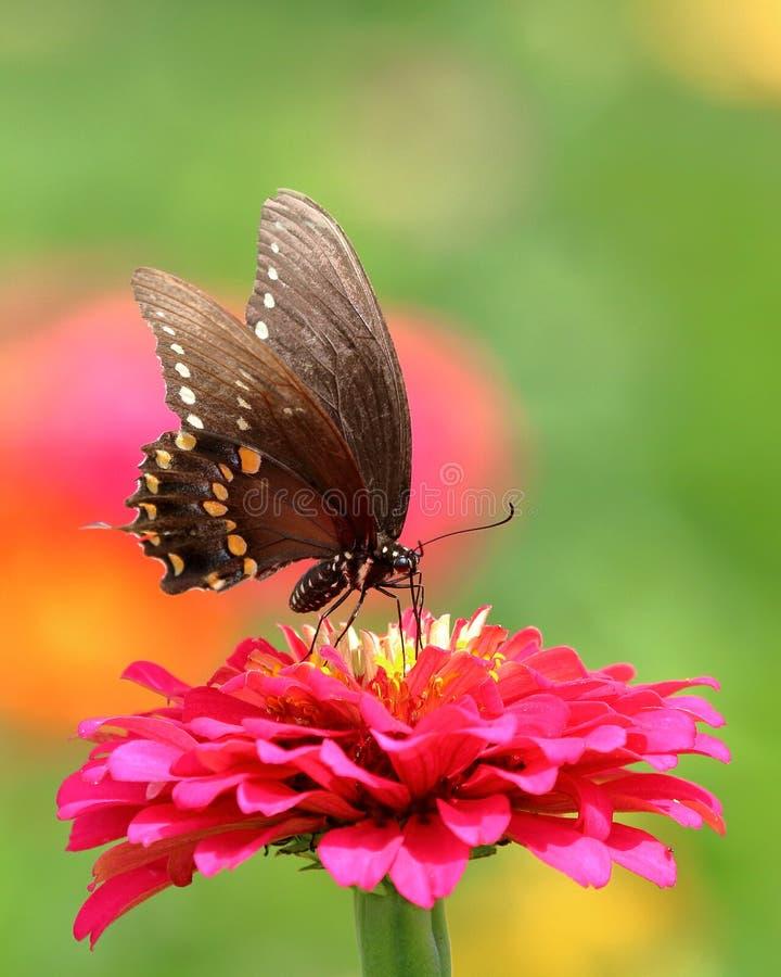 Czarny Swallowtail motyl w kwiatu ogródzie zdjęcia stock