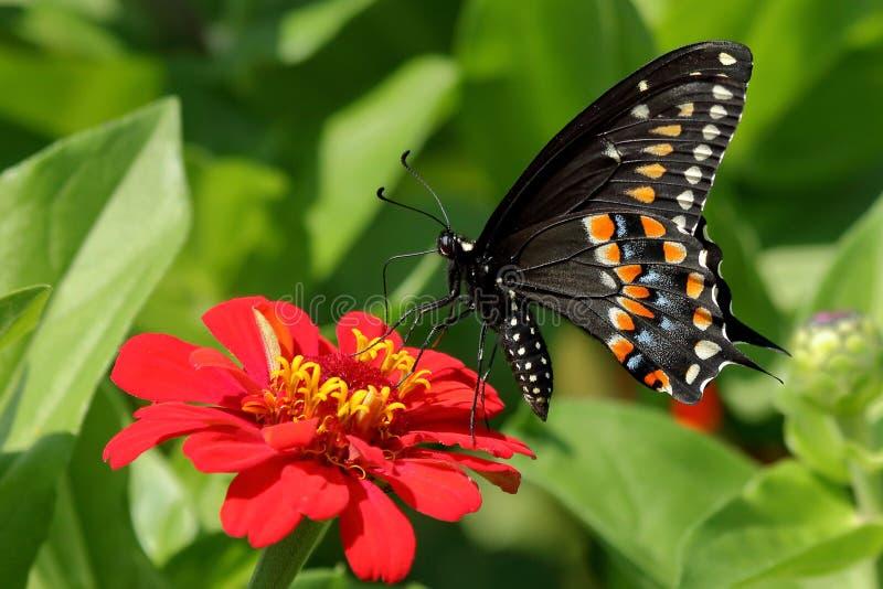 Czarny Swallowtail motyl w kwiatu ogródzie obraz royalty free