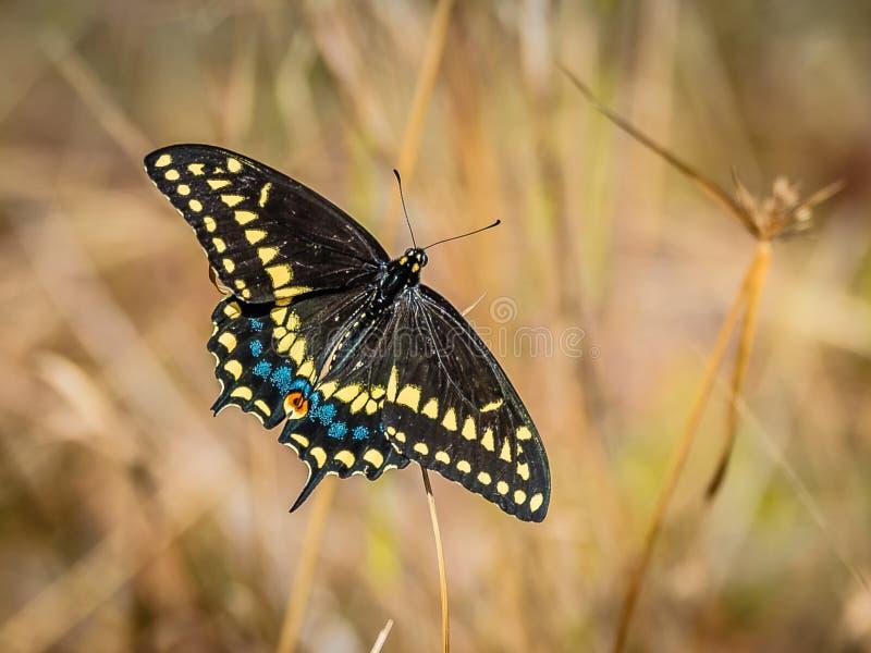 Czarny Swallowtail motyl w polu zdjęcia royalty free