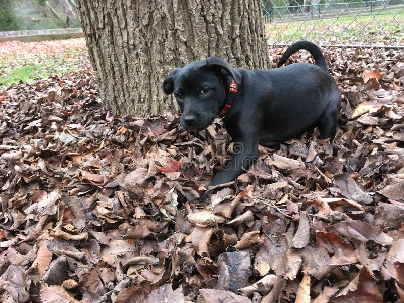 Czarny szczeniak bawić się w jesień liściach zdjęcie stock