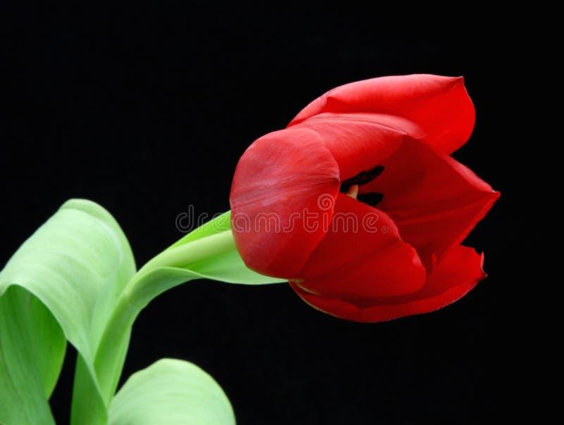 czarny tła czerwony tulipan zdjęcie stock