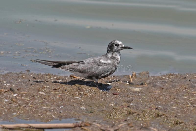 Czarny tern (chlidonias Niger) zdjęcia stock