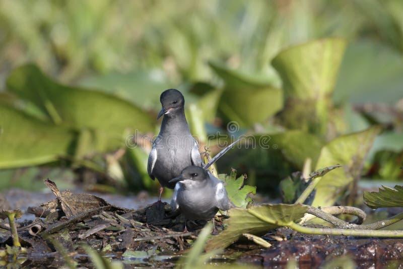 Czarny tern, Chlidonias Niger fotografia royalty free