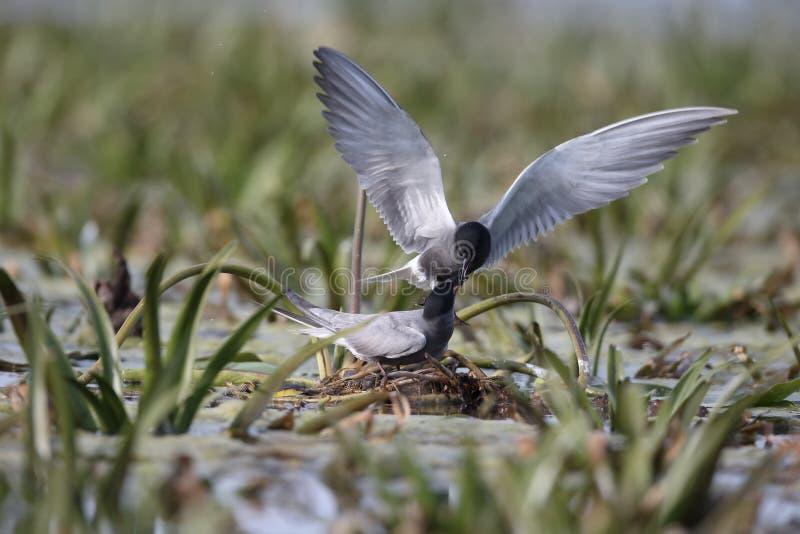 Czarny tern, Chlidonias Niger zdjęcia stock
