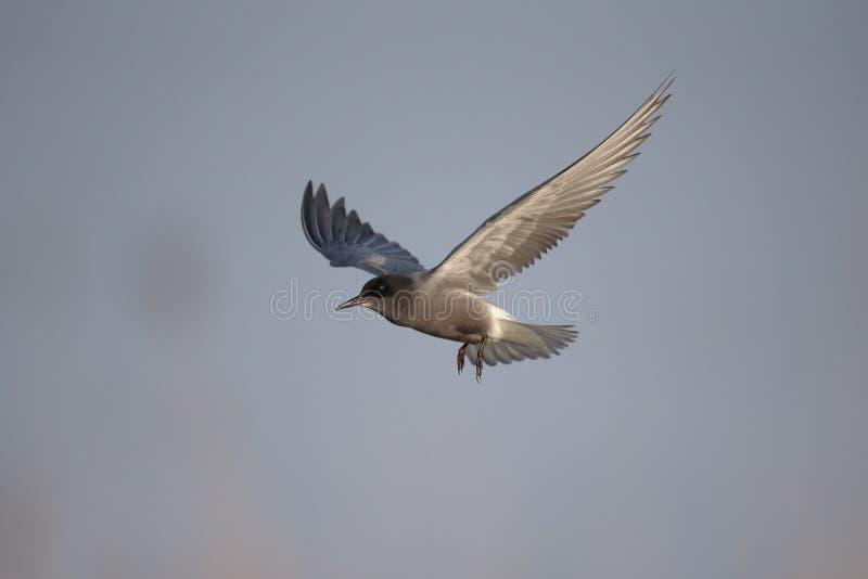 Czarny tern, Chlidonias Niger zdjęcie royalty free