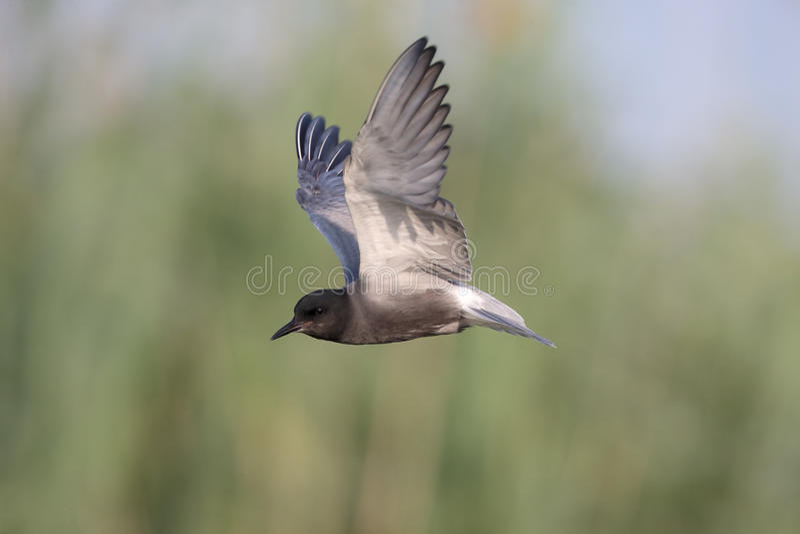 Czarny tern, Chlidonias Niger obraz stock