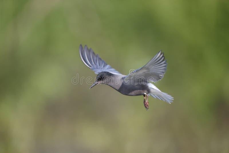Czarny tern, Chlidonias Niger fotografia stock