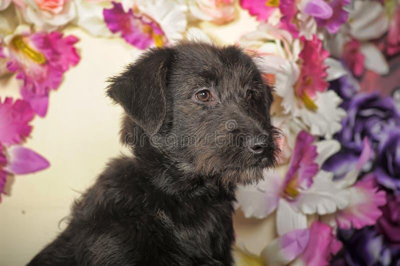 Czarny Terrier crossbreed zdjęcie royalty free