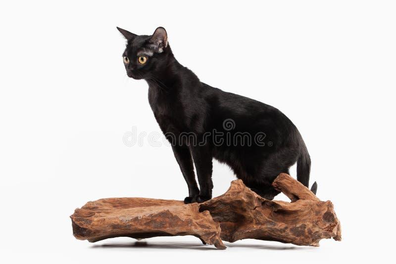 Czarny tradycyjny Bombay kot na bielu obrazy royalty free