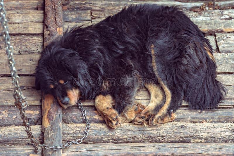 Czarny tybetańczyka pies jest przykuwający biednie i charłaczy zdjęcia royalty free